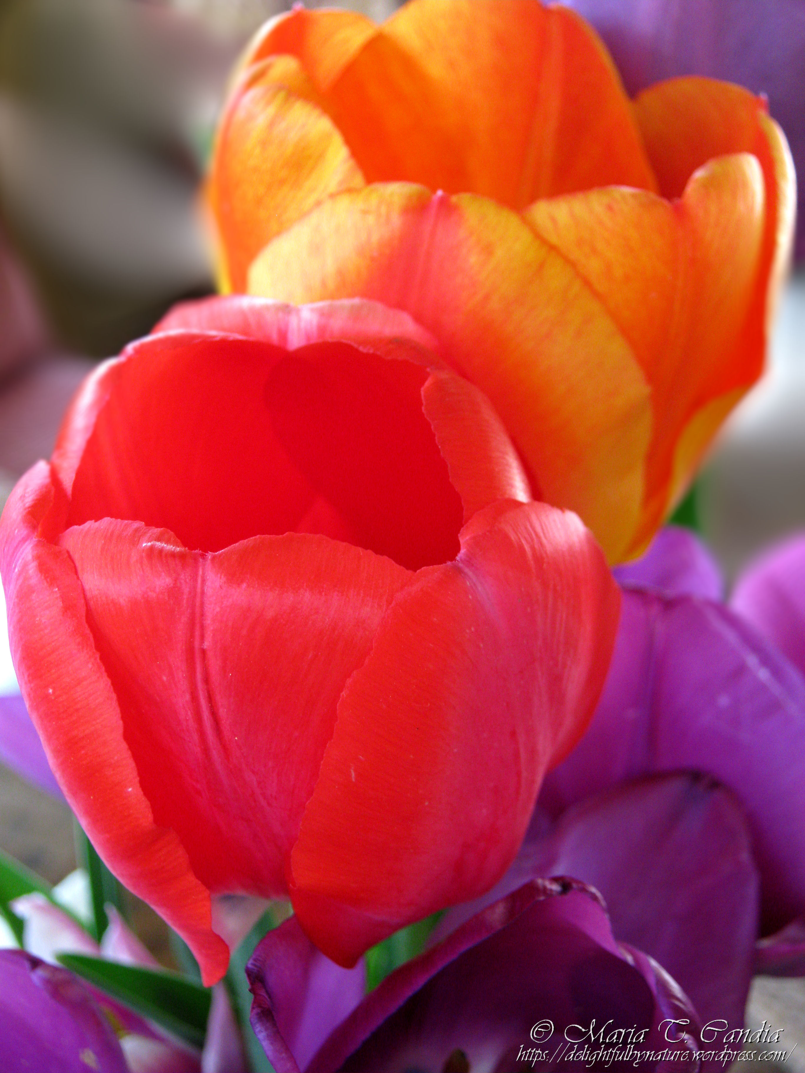 Tulip season delightful by nature for What season are tulips