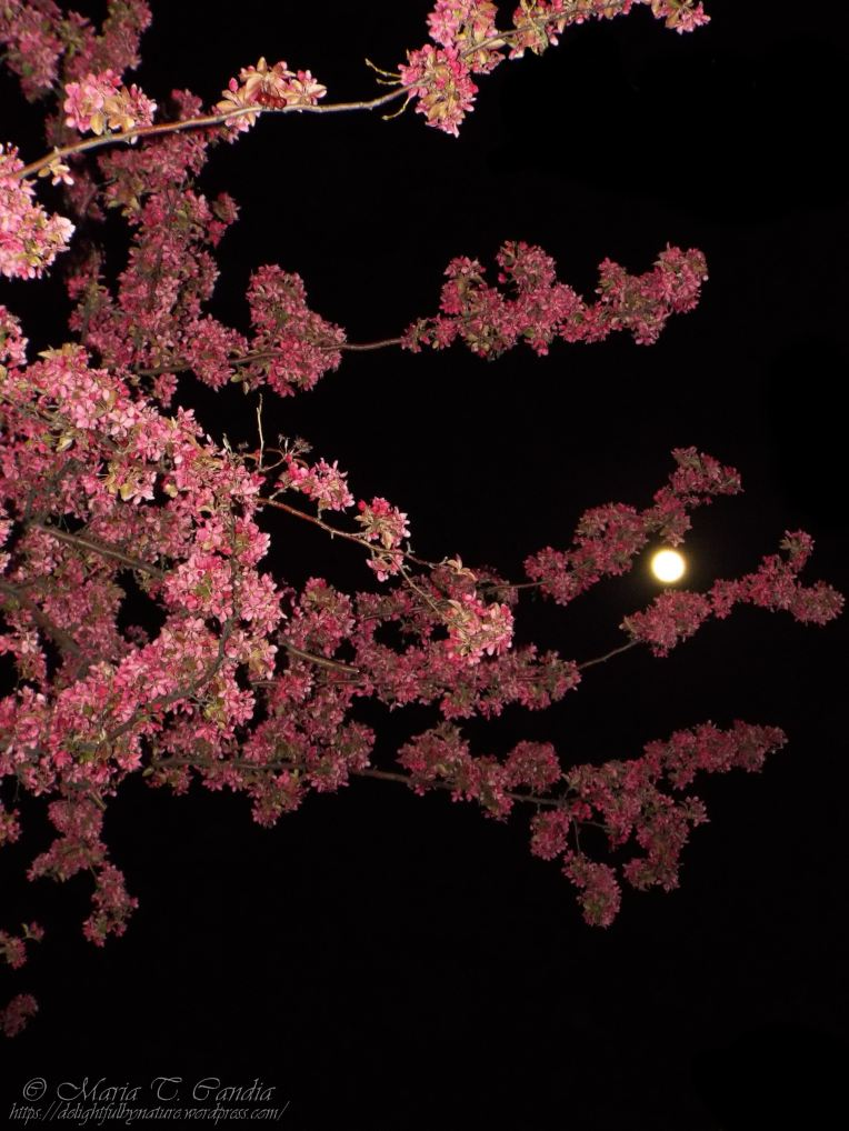nightblossoms1