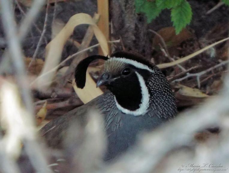 quailinhiding90wtr