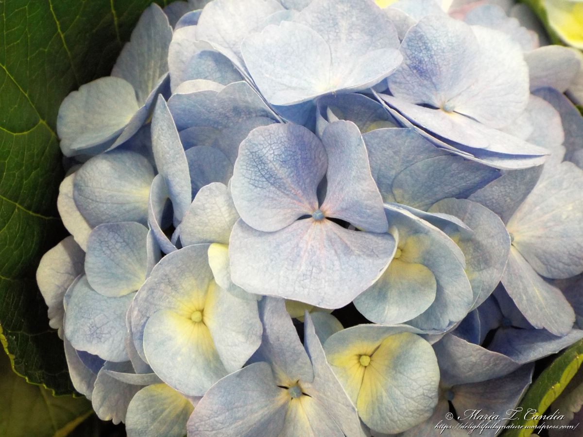Hydrangeas Delightful By Nature